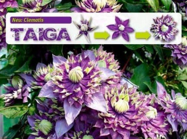 Метаморфозы цветка клематиса Тайга