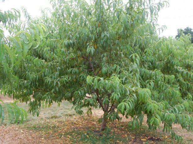 Дерево персика Ветеран