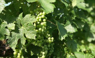 Чтобы зрел да не болел: работы в винограде в августе