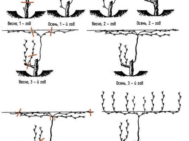 Штамбовая обрезка винограда в схемах