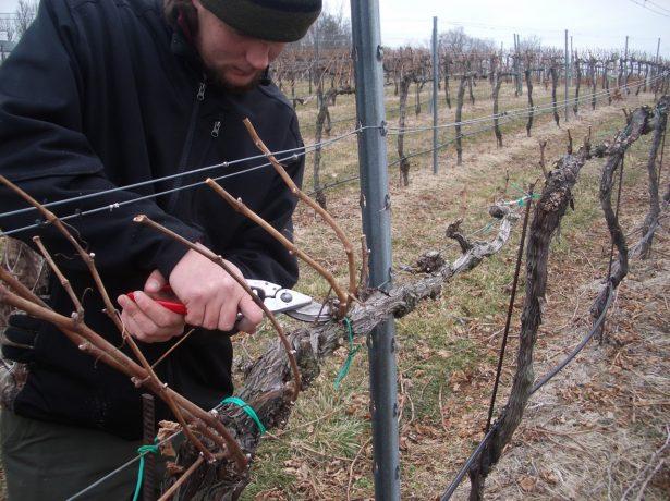 Процедура обрезки винограда