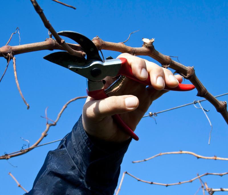 Что нужно знать о весенней обрезке винограда