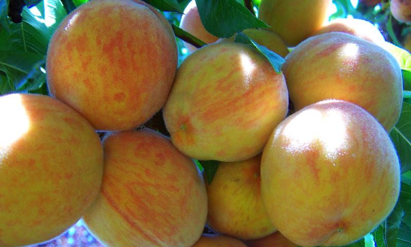 Гринсборо — американский сорт персика, известный во всём мире
