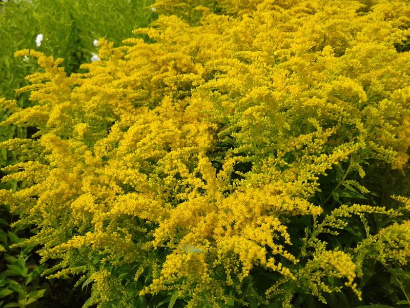Желтоцвет в зелёной аптеке: полезные свойства золотарника