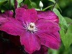 Руж Кардинал: клематис с лепестками королевского пурпурного цвета