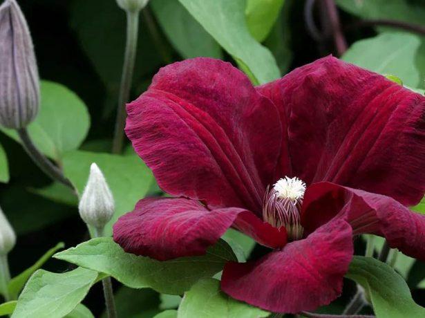 Цветок клематиса Руж Кардинал