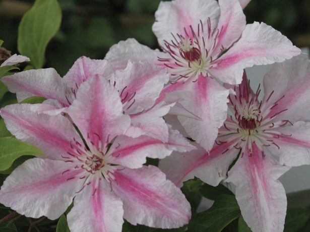 Цветы клематиса Пинк Фэнтези