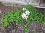 Пинк Фэнтези – крупноцветковый розовый клематис