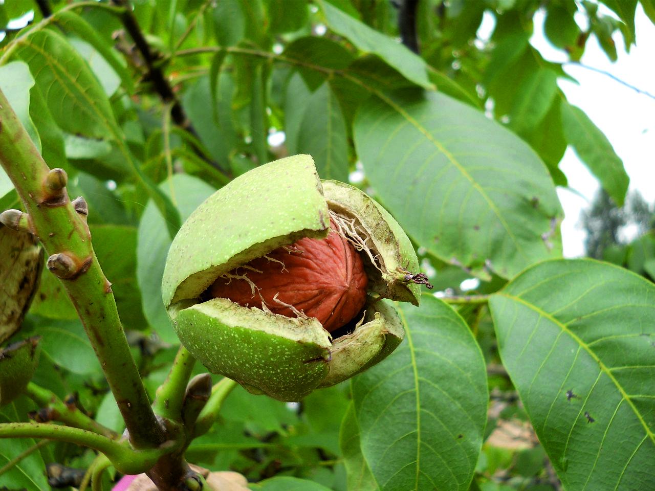фундук дерево фото краснодар только постоянное