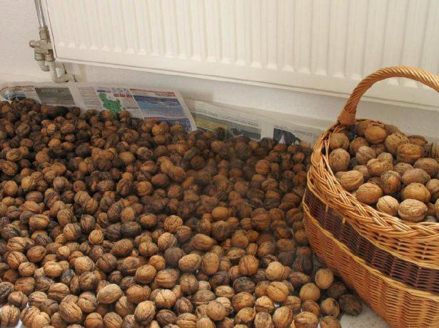 Сушка грецких орехов