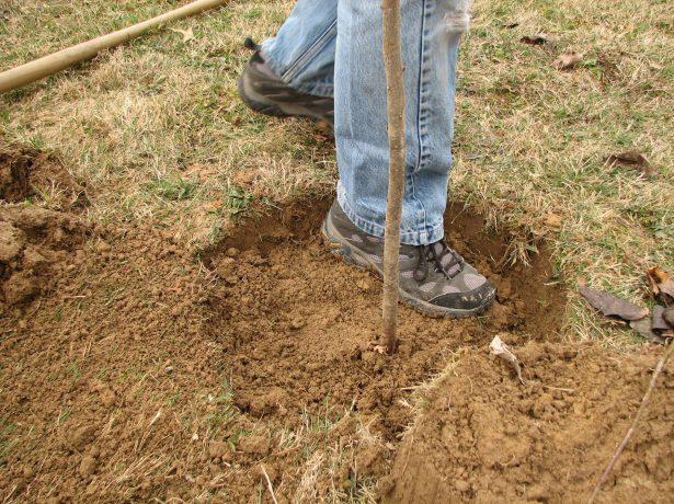 Уплотнение почвы в посадочной яме