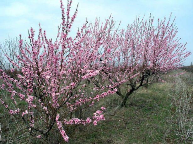 Невысокие компактные деревья персика