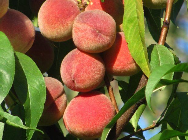 Персики, освещённые солнцем