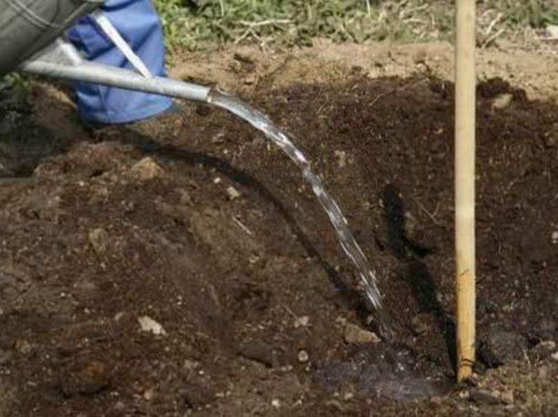 Полив почвы в посадочной яме