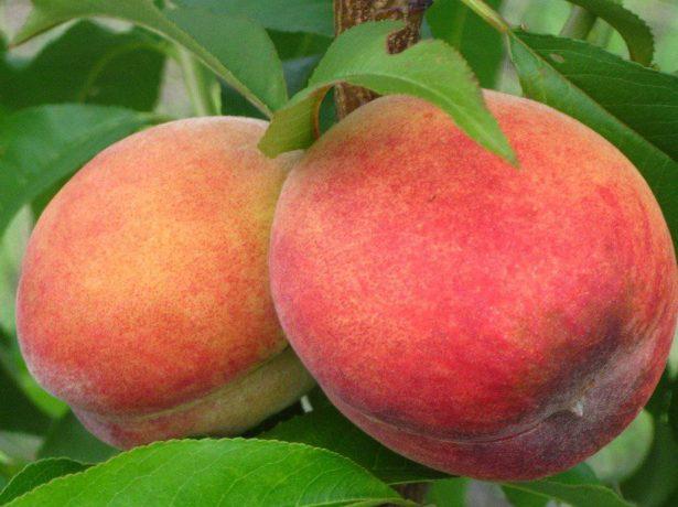 Плоды персика Киевский ранний