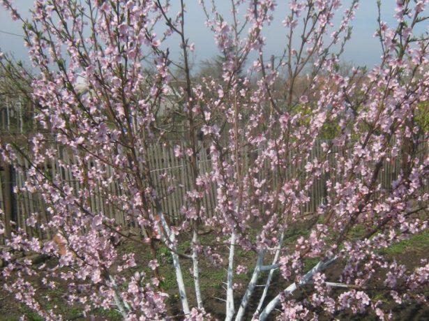 Цветущий персик сорта Киевский ранний