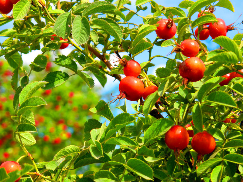 Когда собирают плоды шиповника