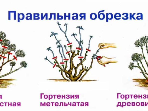 Схема обрезки гортензий