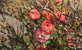 Как правильно укрыть розы, чтобы они перезимовали без ущерба