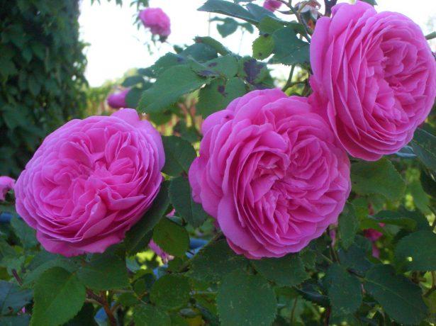 Роза Луиза Одье