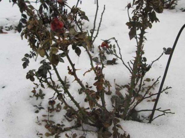 Розовый куст зимой