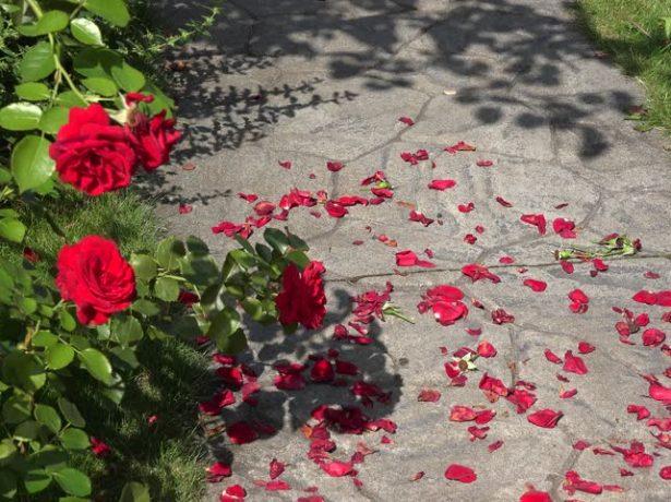 Опавшие лепестки роз