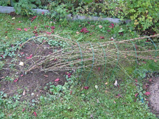 Снятые с опоры стебли плетистой розы