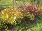 Особенности ухода за пионами осенью и их подготовки к зиме