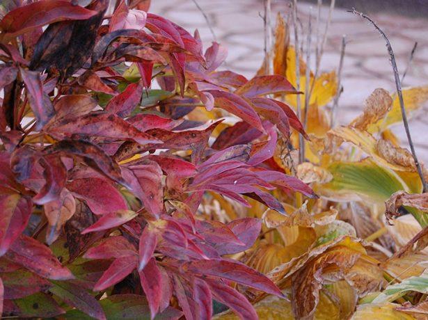 Краснеющие листья пиона