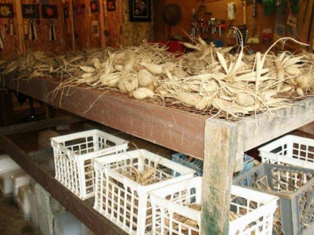 Хранение георгинов в погребе