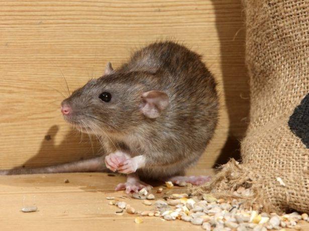 Мышь в погребе