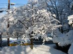 Слива осенью: как подготовить дерево к зиме