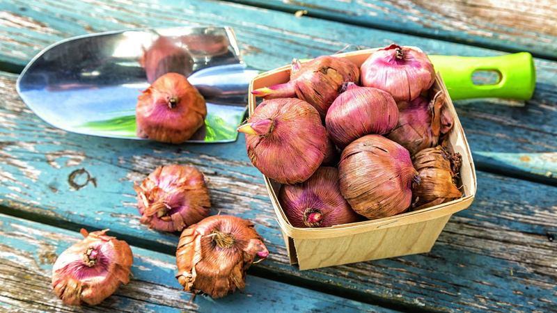 Гладиолусы: как сохранить луковицы зимой