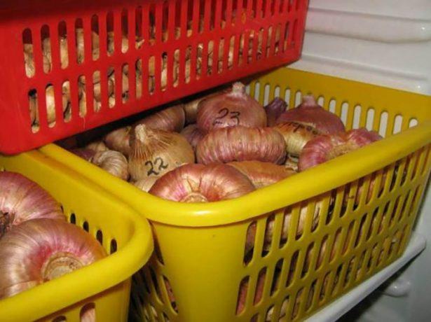 Хранение гладиолусов в холодильнике