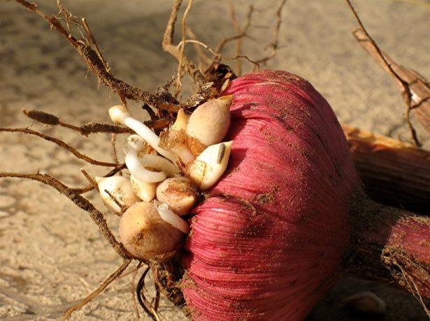 Дочерние луковицы гладиолусов