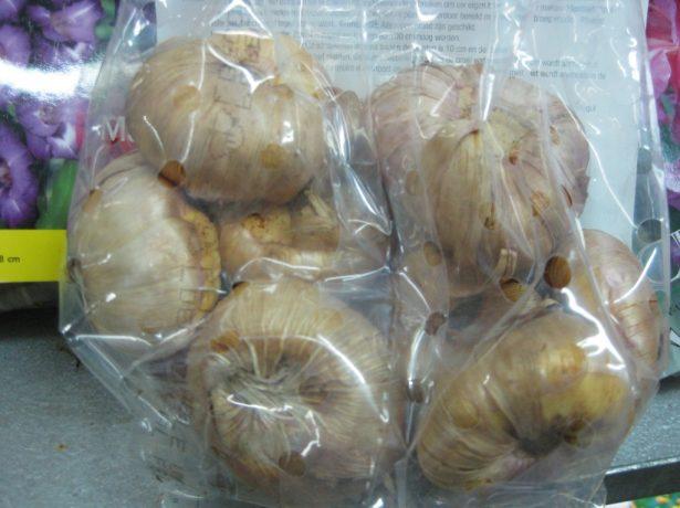 Луковицы гладиолусов в перфорированном пакете