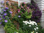 Клематисы: стоит ли пересаживать их осенью и как это правильно делать