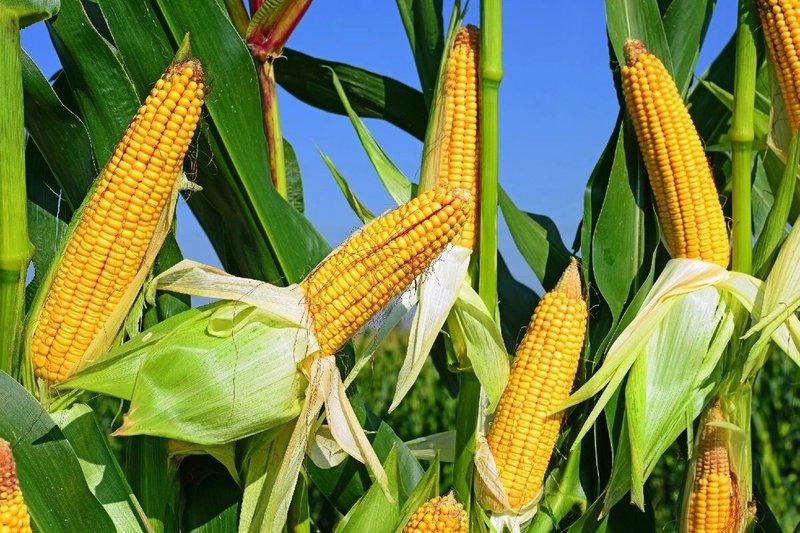 Вода при варке кукурузы стала красной: стоит ли переживать или можно смело есть такой продукт