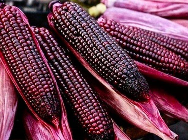 Сорта кукурузы с красновато-фиолетовыми зёрнами