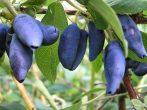 Закладываем будущий урожай жимолости: осенний уход и подготовка к зимовке