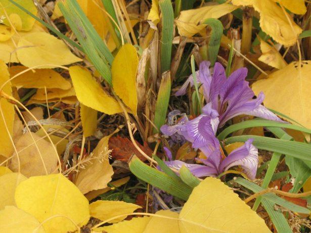 Ирисы осенью