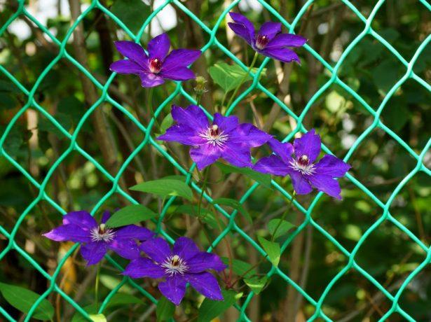 Мало цветков у клематиса Президент