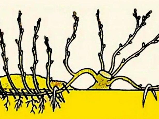 Горизонтальные отводки яблони, пришпиленные к земле и давшие собственные побеги