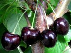 Черешня Дайбера чёрная – хороший сорт из позапрошлого века