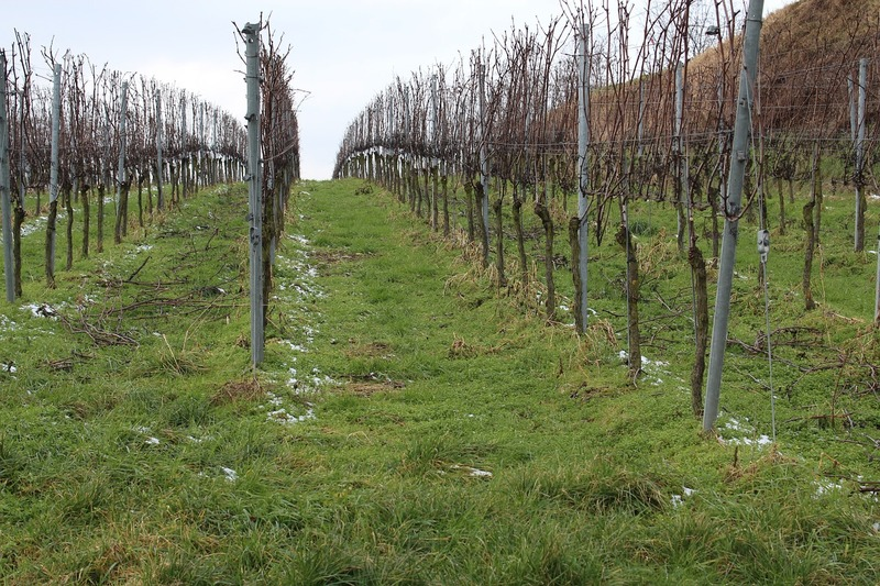 Осенняя обработка винограда: защищаем лозы от болезней и вредителей