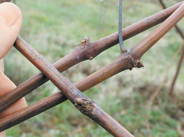 Закрытые почки винограда