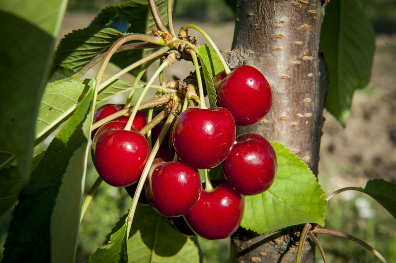 Черешня Свитхарт: сортовые особенности и нюансы выращивания