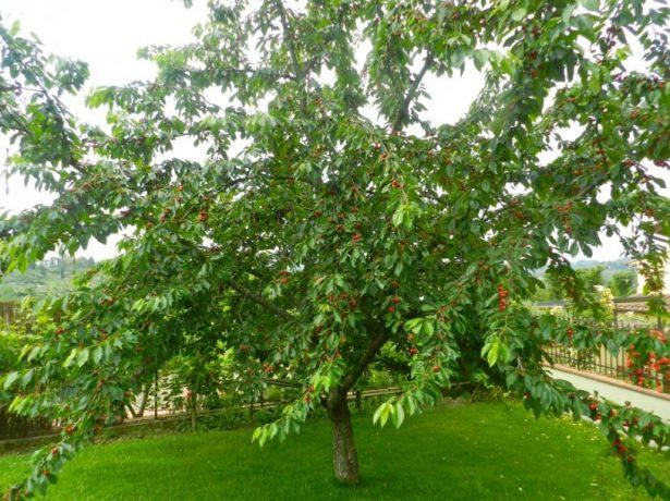 Дерево черешни сорта Свитхарт