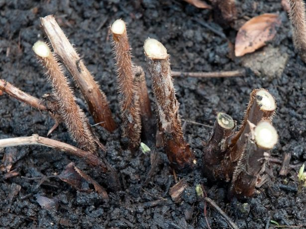 Обрезка ремонтантной малины под корень