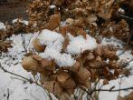 Как укрыть гортензию на зиму правильно